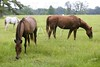 Horses feeding grass in a Texas green meadow, nature