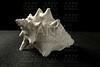 Conch sea snail white shell black background