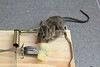 Mouse trap with real mouse catched with cheese