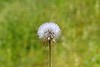 dandelion white flower to blow and make a wish
