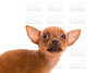 Chihuahua puppy pet dog doggy portrait on white