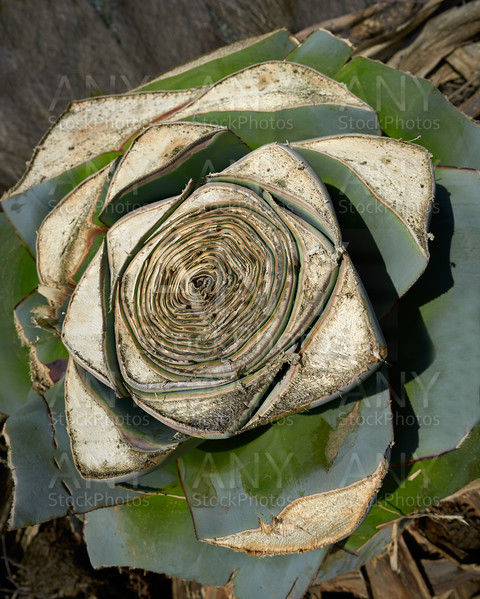 Agave pitera cut plant from mediterranean core