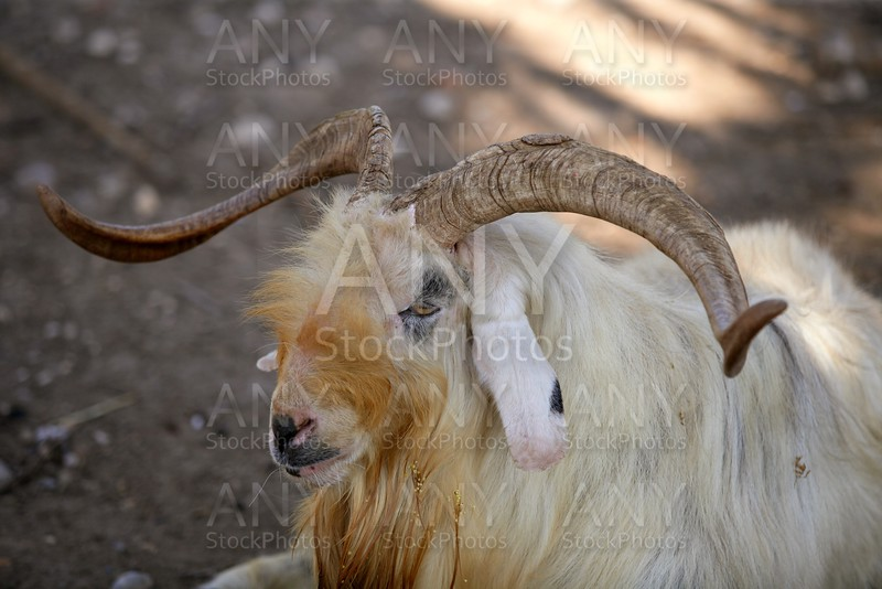 Goat portrait redhead and white wool colors, nature