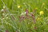 Fumaria officinalis pink purple flowers spring meadow