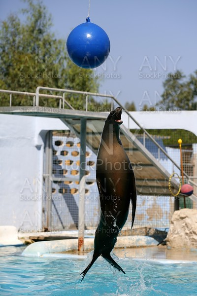 Acrobatic seal jump on a water show trying  get the ball