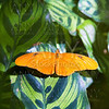 Julia longwing butterfly Dryas iulia in leaf
