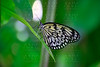 Rice Paper butterfly Idea leuconoe in green leaf