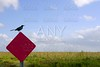 Blackbird standing over traffic red sign in green Everglades