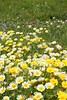 daisy yellow flowers green nature meadow