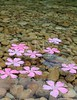 Oleander pink flowers floating in natural freshwater