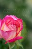 Colorful rose flower macro
