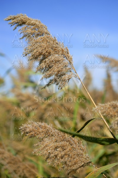 Cane grasses spikes from river under blue sky