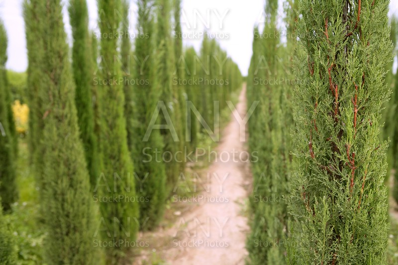 Cypress trees ornamental agriculture in  fields