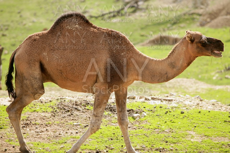Camel walking on the park with green grass
