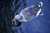 Gray duck swimming in blue lake bird aerial view