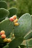 prickly pear cactus nopal with fruits from Mediterranean