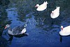 Ducks in white and gray over blue lake bird
