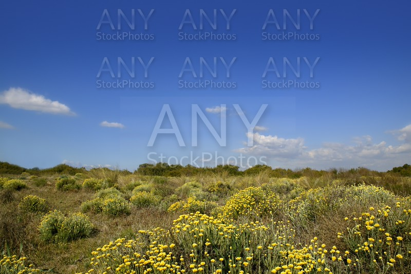 Asteraceae, Helichrysum stoechas yellow flowers under blue sky, nature