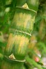 Bamboo cane closeup trunk details  green and yellow