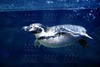 Blue underwater Penguin swimming under water surface line, nature