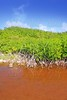 Mangrove plant red water and aerial roots blue sky