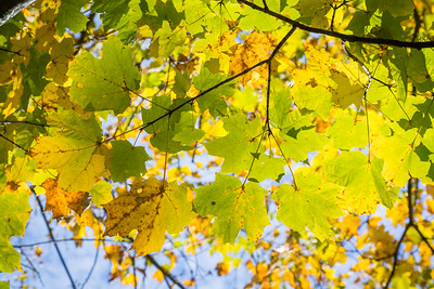 I love the maple in autumn.