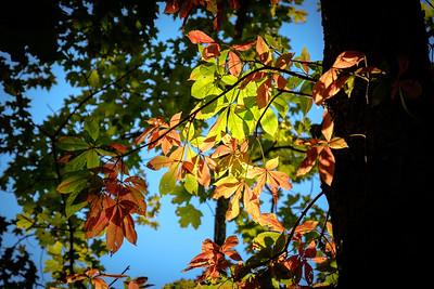 Buckeye Tree in Autumn