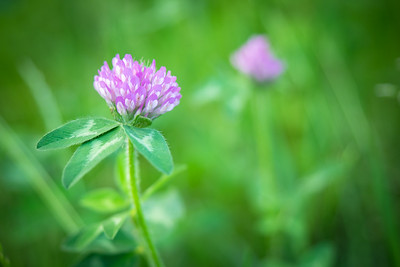 Lovely Clover Bloom