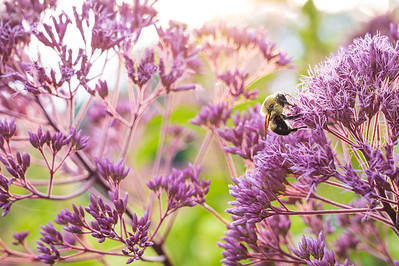 Joe Pye Weed & Bumble Bee