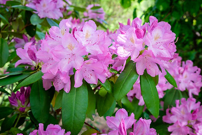 I finally have a really nice rhododendron :-)