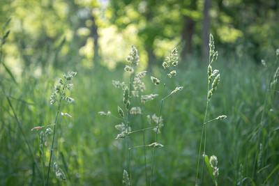 Mid-May Grasses