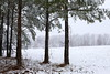 Pine Forest After Snowfall