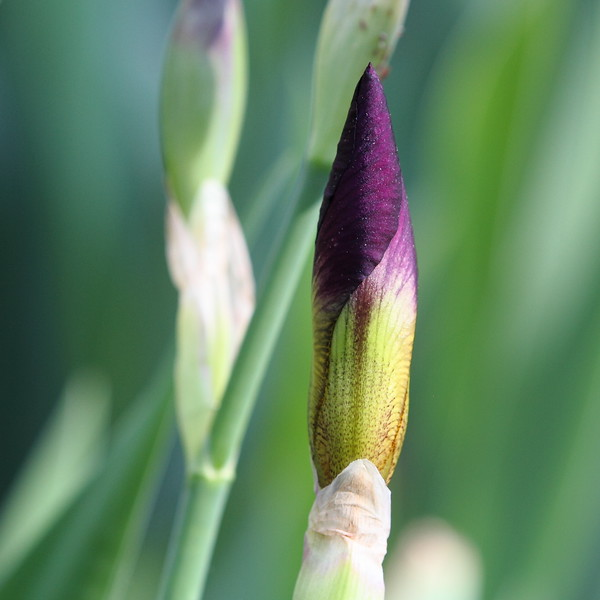 Purple Iris Ready to Blossom