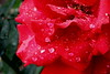 Dew Covered Rose
