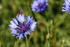 Blue Corn Flower