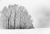 Winter Trees in Snow Fall