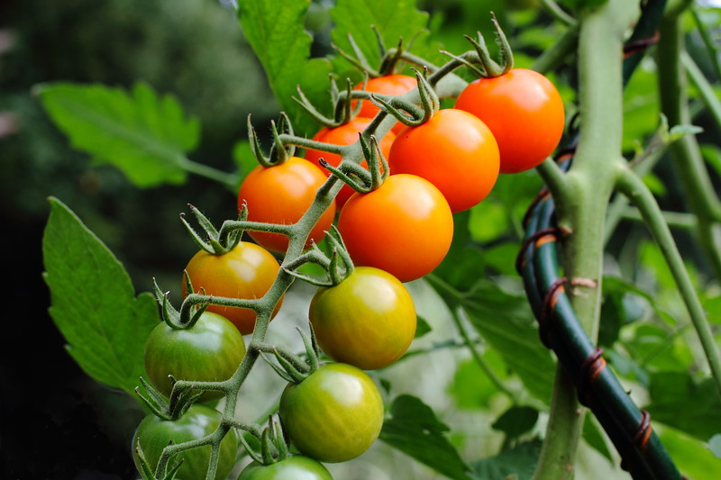 Cherry Tomatoes In Rows on the Vine
