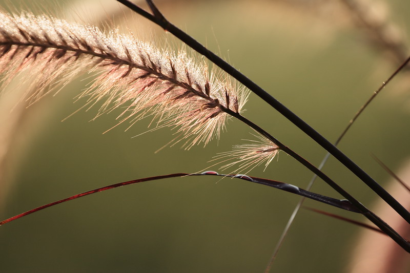 Pampas Grass with Morning Frost