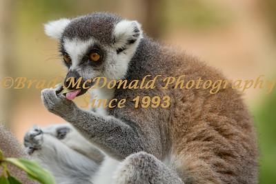 BRAD McDONALD TARONGA ZOO 201701140188