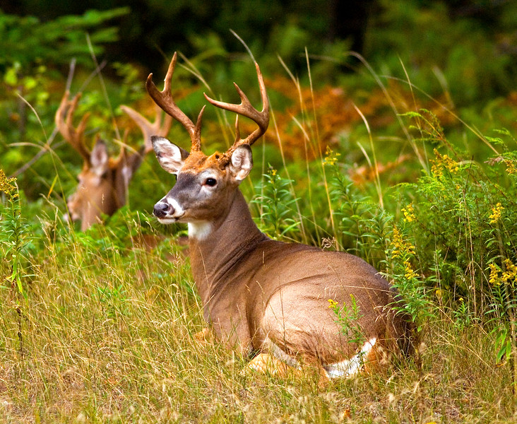 A pair of Whitetail deer bucks laying in the grass.