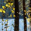 Let Fall Begin Aspen Leaves 12x8 ©2015MelissaFaithKnight&FaithPhotographyNV_9148