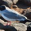 Galapagos Swallow-Tailed Gull