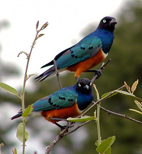 Superb Starlings