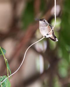 HIMMINGBIRD IMG_7987