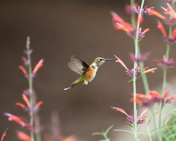 HUMMINGBIRD IMG_7869