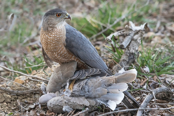 COOPER'S HAWK WITH KILL