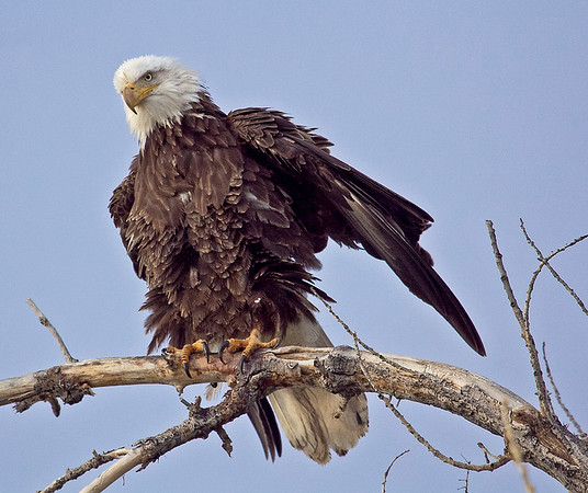 BALD EAGLE RUFFELED