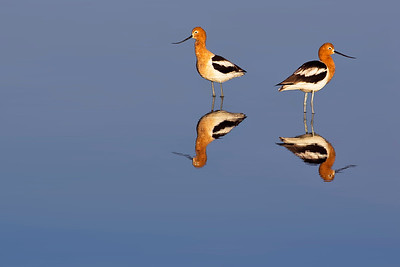 EARLY MORNING AVOCETS