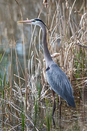 Great Blue Heron IMG_0546