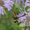 Snowberry Clearwing Moth_8150